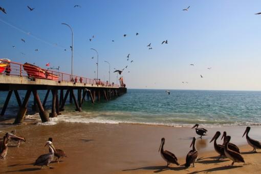 Pelicanos no mercado de peixes