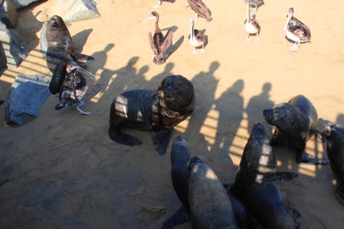Pelicanos e leões marinhos disputam peixes