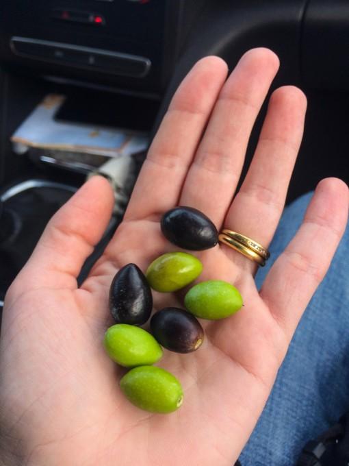 A não ser que você seja teimoso não experimente azeitonas direto da oliveira. Blergggg!!!