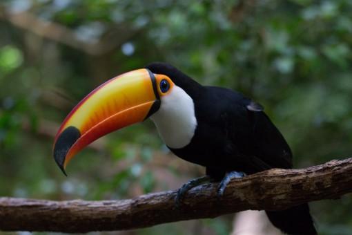 Ah, os tucanos. São lindos né?
