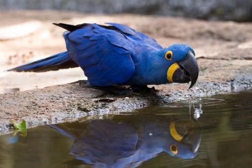 """Olha o """"Blue"""" tomando água da poça"""