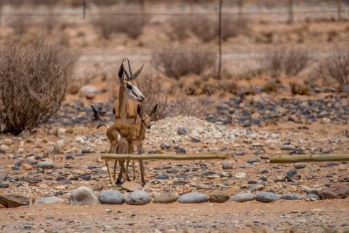 Impalas nos visitando no Sossus Oasis