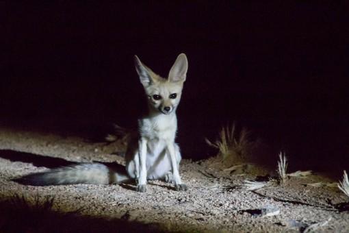 Mais visitas, uma raposa.