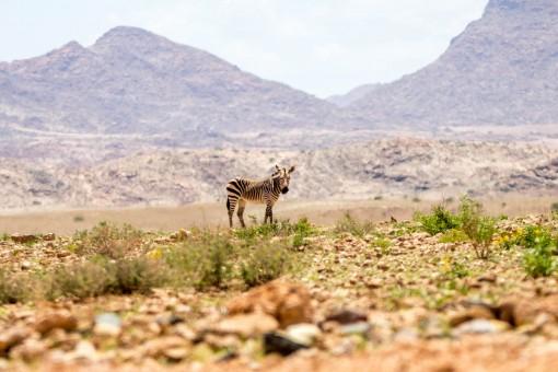 A primeira zebra que vimos perto de Kuiseb Pass