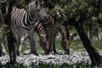 Zebras se escondendo nos arbustos