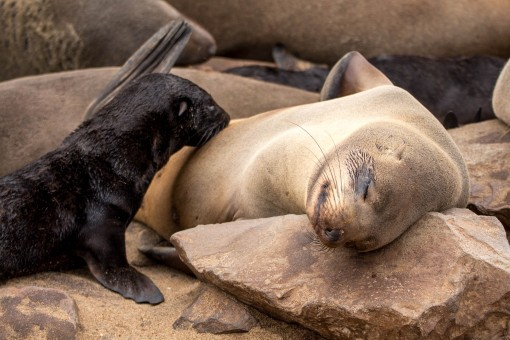 Bebês lobo marinho estavam por toda parte. Esse mamava enquanto a mãe tirava uma soneca.
