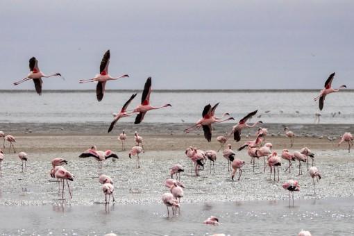Flamingos voando