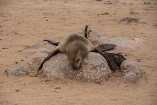 Lobo marinho na maior preguiça na pedra