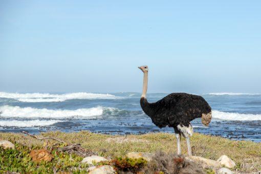 Avestruz com mar ao fundo no Cabo da Boa esperança África do Sul