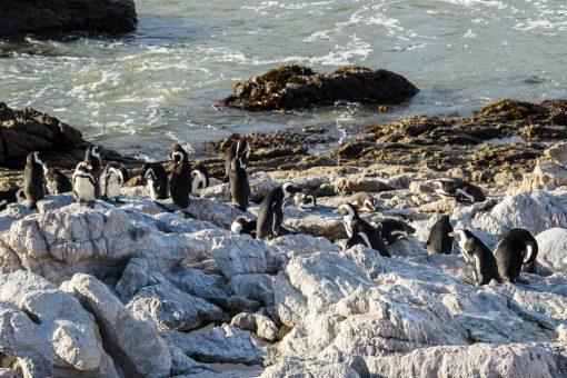 Pinguins tomando sol na pedra.