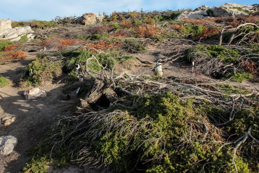 Esse monte de galho no chão são os ninhos dos pinguins. Muito foram construídos pela reserva para acomodar melhor os animais.
