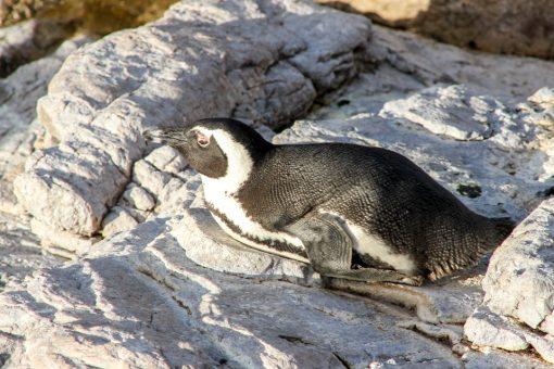 Pinguim tomando sol na pedra