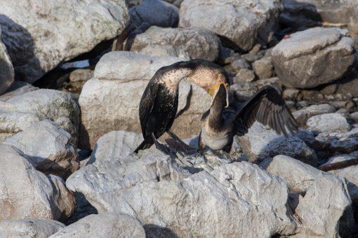 Uma ave abocanhando a cabeça da outra.