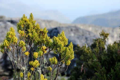 Plantinha da Table Mountain.
