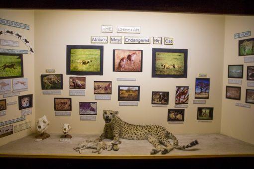 Leopardo empalhado no Owela Museum