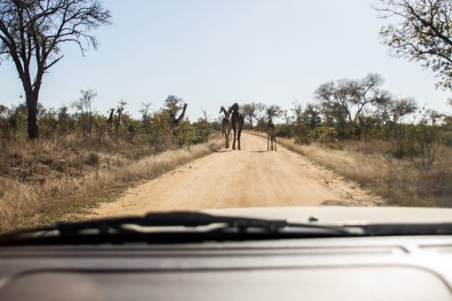Estrada boa de terra com três girafas atravessando e duas dentro dos arbustos.