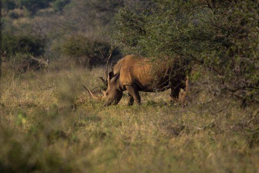 Dois rinocerontes brancos, um deles quase escondido atrás do arbusto.