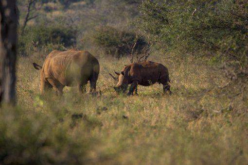Um rinoceronte filhote junto com a manada de adultos.