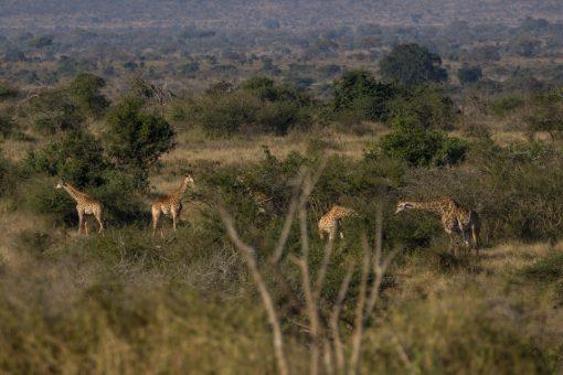 Cinco girafas ao longe comendo folhas de árvores espinhosas.