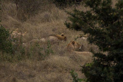 Leões deitados meio escondidos entre a vegetação.