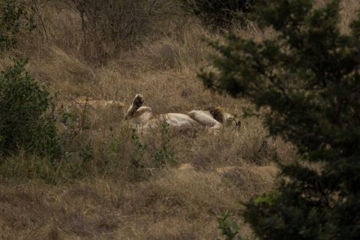 Leão macho com as patas para cima como se estivesse se espreguiçando.