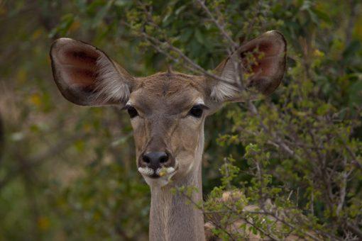 Apenas a cara de uma fêmea kudu