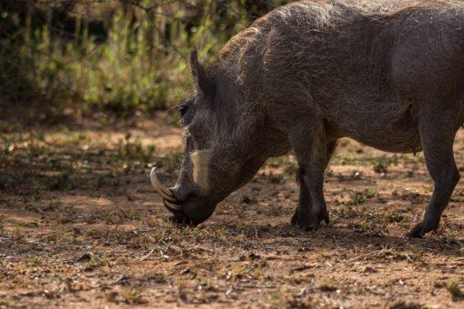 Um javali africano com dentes que saem pra fora da boca e uma pelagem bem rala e branca