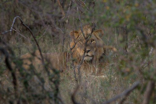 Leão mais velho atrás de uma árvore.