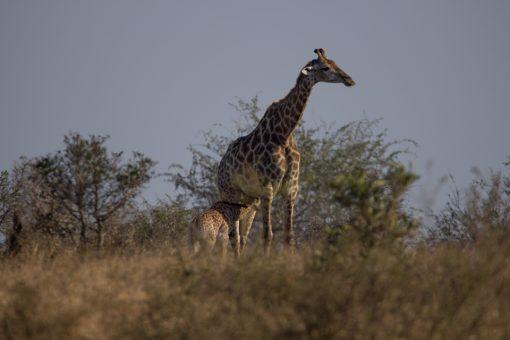 Girafa amamentando filhote em pé.