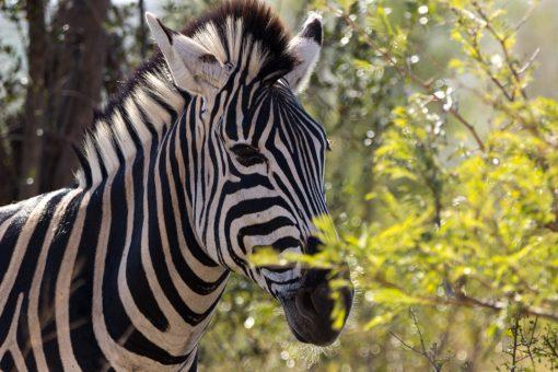 Cabeça de uma zebra atrás de folhagem verdinha iluminada pelo sol.