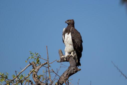 Uma águia real com o pé levantado.