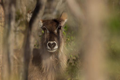 Antílope orelhudo com nariz preto em formato de coração.