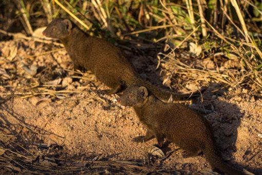 Dois mangustos ao sol. Eles são pequenos animais com corpo alongado e rabo maior ainda.