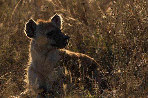 Uma hiena bela e formosa nas primeiras horas do dia.