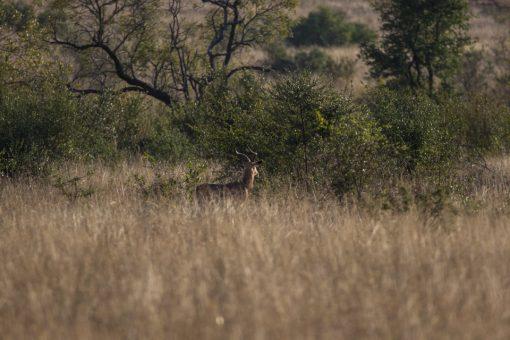 Vegetação seca e ao fundo uma gazela olhando para trás, imóvel.