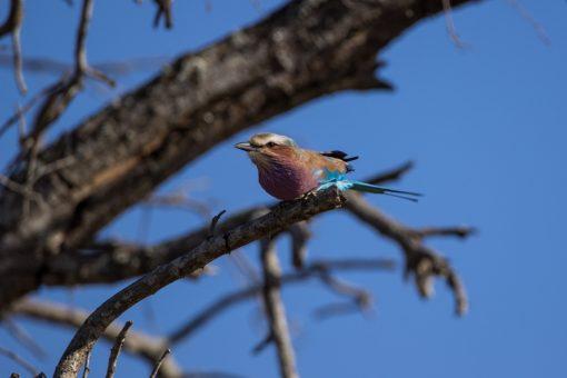Passarinho pequeno em cima de um galho. Tem a cabeça branca, costas marrom claro, peito lilás e asas em tons de azul.