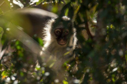 Macaco de pelagem branca e cara preta nos olhando por entre as folhas.