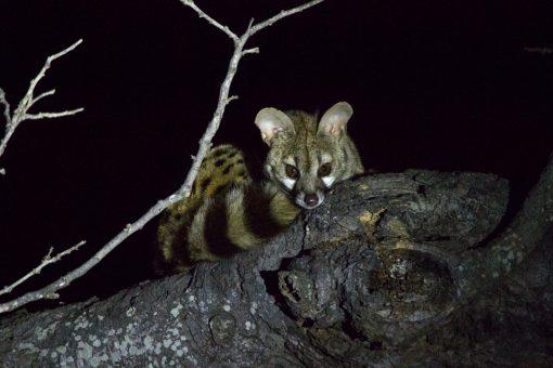 Pequeno animal com cara de raposa e longo rabo listrado no galho de uma árvore durante a noite.