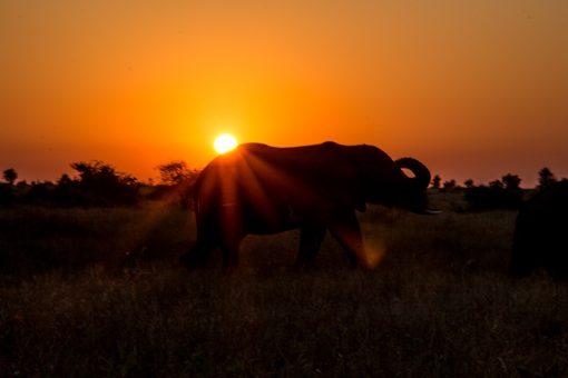 Por do sol alaranjado e o perfil de um elefante na savana do Kruger National Park