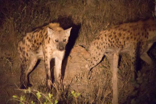Duas hienas iluminadas pela luz de uma lanterna durante um safari noturno.