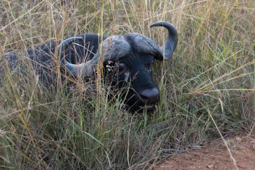 Búfalo deitado ao lado da estrada com metade do corpo escondido pela vegetação.