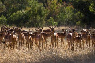 Várias impalas olhando pra foto em uma campo seco com árvores verdes ao fundo.