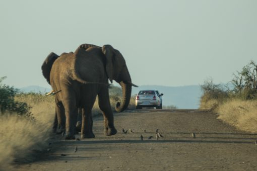 Dois elefantes começando a atravessar a estrada na frente do nosso carro. Passarinhos no chão em volta e mais um carro a frente.