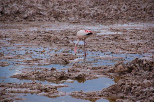 Flamingo solitário caçando artêmis