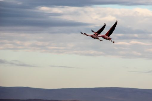 Dois flamingos voando no céu do salar do atacama em um céu azul claro com muitas nuvens