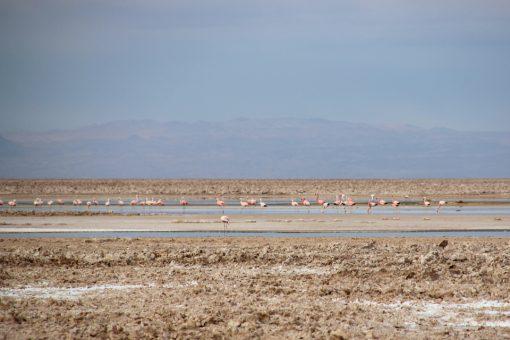 Vários flamingos em uma laguna afastada da interferência humana
