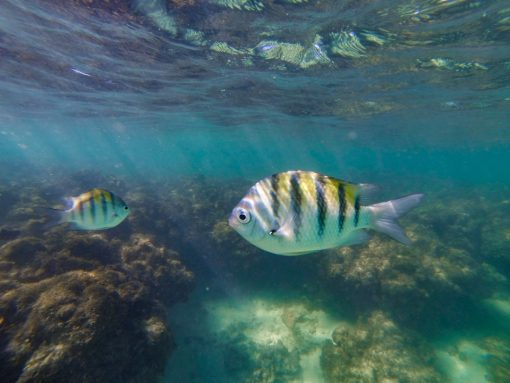 Dois peixes com listras amarelas, pretas e cinzas nadando na frente de uma barreira de corais