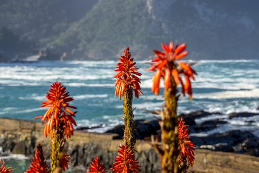 Flores vermelhas no Tsitsikama